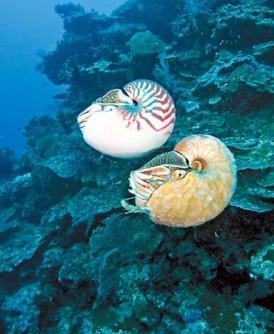 被喻为全球最稀有海洋生物的异鹦鹉螺!