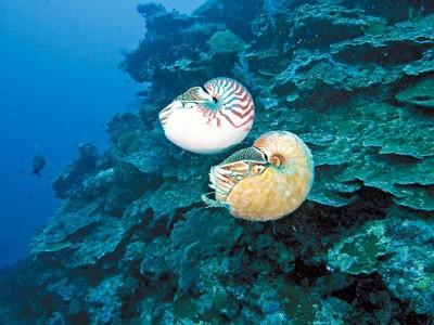 为告知为中外最稀有海洋生物的不同鹦鹉螺!
