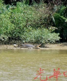 出现在楣南河口的鳄鱼。
