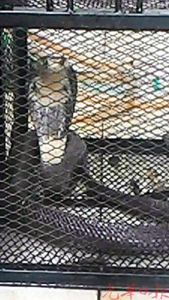 被安置在笼子里的巨型眼镜蛇张开颈部,抬起头部。