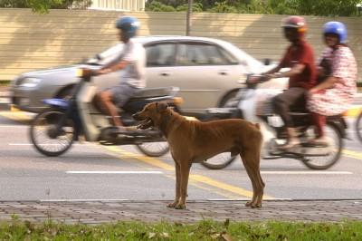 国际非政府组织世界兽医服务组织(World Veterinary Services) 简称(WVS)正准备任何时候免费为槟州的宠物及野狗供应5万疫苗。