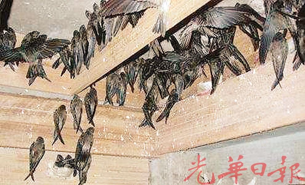 烟霾也导致燕子分不出回家方向。
