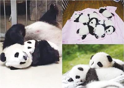 成都的大熊猫基地,今年就已共有6对大熊猫双胞胎出世。