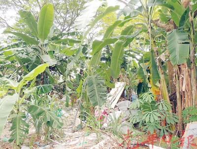 草场也变成居民的香蕉园。