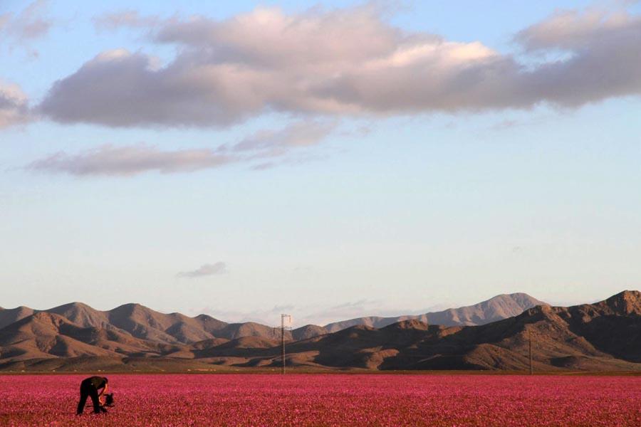 厄尔尼诺带来豪雨智利沙漠成花海...