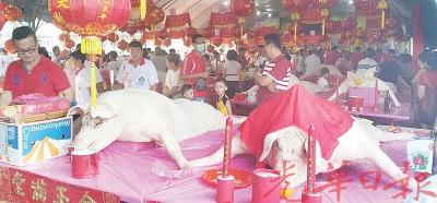 右是227公斤的冠军公猪王,左是季军猪。