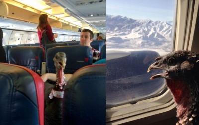 早前网上热传一张火鸡坐飞机的相片,使人啧啧称奇。