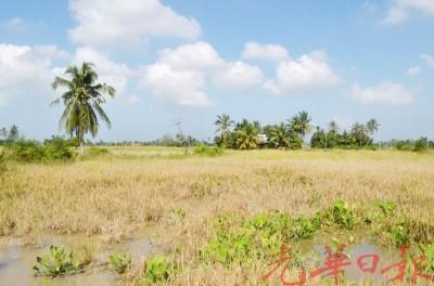 稻田积水及泥土松软,割稻机因此无法进入收割。