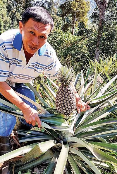 张天来眼前的峇厘黄梨属于较大粒,市价约15令吉1公斤。