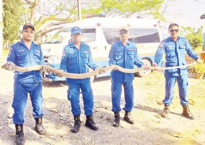 民防队员展示被捕的眼镜蛇。