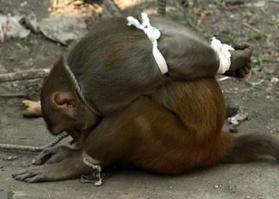 猕猴被五花大绑,放街上示众。