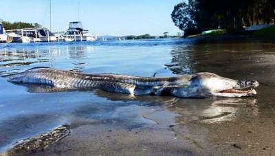 这条不明的海洋生物,好像拥有海豚的头部及鳄鱼的身体。