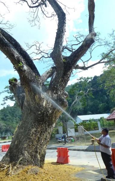 雨豆树命难保?图为员工在喷水润湿树身。