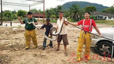 武拉必自愿消防队生擒14尺长的大蟒蛇。