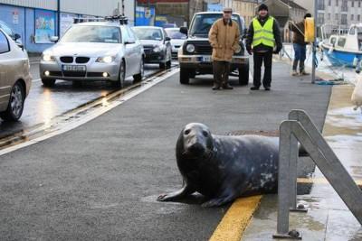 """海豹Sammy成为爱尔兰码头当地的""""明星""""。"""