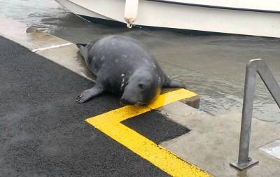 海豹Sammy上岸向居民讨食物。