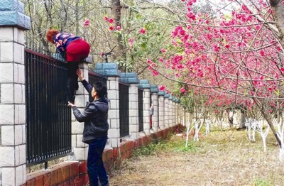 游客爬监狱围墙进入小区赏花。
