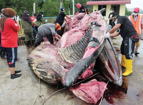 渔业局解剖搁浅鲸鱼,以找出死亡原因。