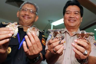 印尼海关截获准备运往广东的3700多只猪鼻龟和900多只蛇颈龟。(法新社照片)