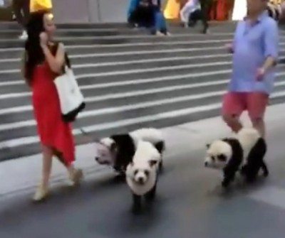 """三只松狮犬被染为""""熊猫"""",引发热议。"""