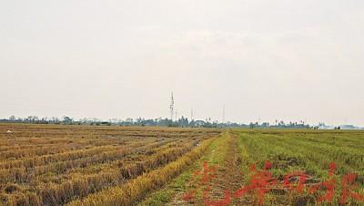 稻田受天气酷热影响及在烈日曝晒下,从绿油油变成焦黄。