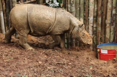 雌性苏门答腊犀牛掉入陷阱被救出,这只约4至5岁的小犀牛目前已经暂时关在笼子,将会安排直升机载往森林保护区。(法新社照片)