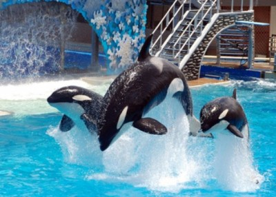 海洋世界宣告停止繁殖杀人鲸