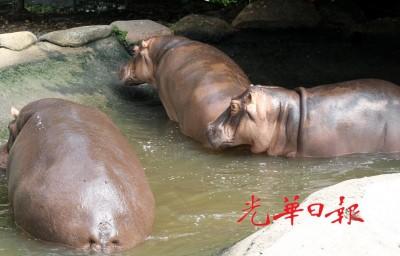 气象暑热,并河马都长时间待在水池,不愿出来走动。