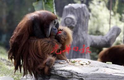 人猿吃冰块水果,凭着的津津有味。