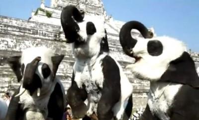 泰国大城府的象园特意将大象彩绘成熊猫样,引起网民热议。