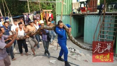 工地惊现250公斤重的大蟒蛇!