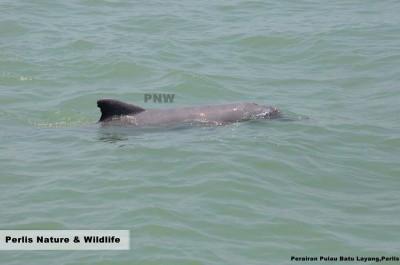 玻璃市港口的巴都拉央小岛附近的海域出现海豚游水嬉戏。\=:(照片由受访者提供)