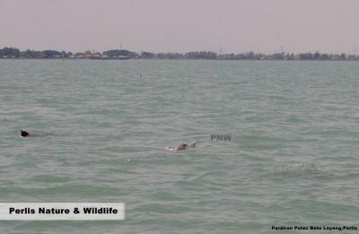 玻璃市港口的巴都拉央小岛附近的海域出现海豚游水嬉戏。(照片由受访者提供)