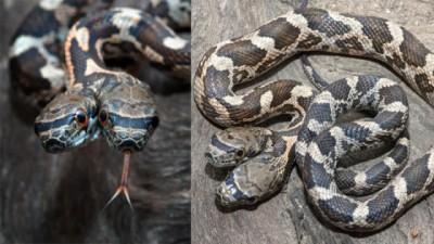 美国野生两头蛇外表看来吓人,实际上无毒,杀伤力有限。