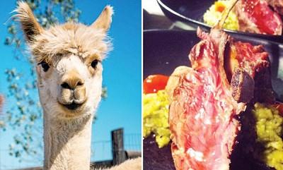 羊驼近年来却变成了人类餐桌上的美味。