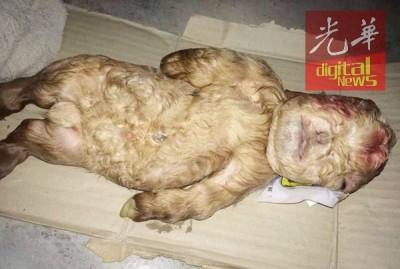 被指长得像人类的羊宝宝死了。