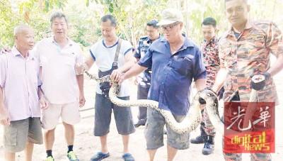 加基武吉街场义务消防队及政府消拯队队员,合力逮捕一条出没在住宅的蟒蛇。