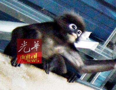 一只全身黑色,眼睛周围呈白色的猴子,经常出没在加央皇冠小贩中心一带觅食。