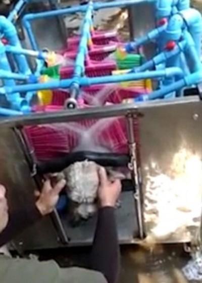 泰国清迈有师生设计出一部洗狗机器,可以自动为狗只擦身洗澡。