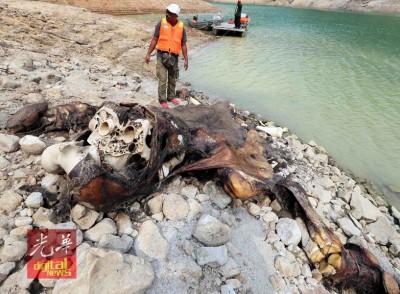 大象的manbext体育官网被人发现死在吉打柏鲁湖边,manbext体育官网腐烂至见骨,有被锯开夺取象牙的痕迹。
