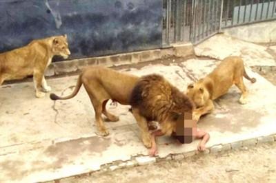 狮子起初靠近男子想跟他玩,但后来开始撕咬攻击。