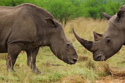 南非不少犀牛(左)被盗猎者锯走犀牛角。
