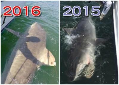 米捷罗夫跟这条虎鲨可算是十分有缘。