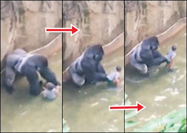 目击者认为大猩猩哈兰贝是在抚摸男孩的背部。