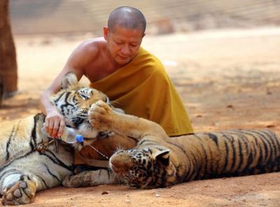 管理者先以同只虎麻醉,并用担架把它们抬上车。\= p:\tiger2 虎庙被指控走私动物、虐待老虎,泰国政府周一高迁这群老虎。(法新社照片)\= p:\tiger3 虎庙是泰国热门旅游景点,只是早前为揭虐待老虎及非法定交易野生动物。\= p:\tiger4/5 管理者表示每日只能迁走20但虎,预测要7天才能悉数迁走。(法新社照片)