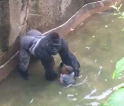 拯救人员为救永乐国际网页版,枪杀了大猩猩哈兰贝。