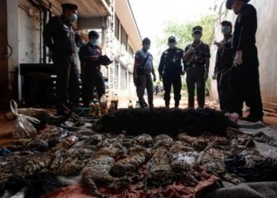 泰国当局在虎庙检获近百只幼虎尸体。