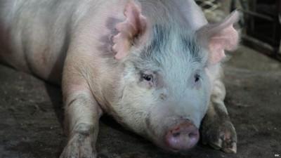 """及时只有母猪体内被植入""""人口猪嵌合体""""开头。"""