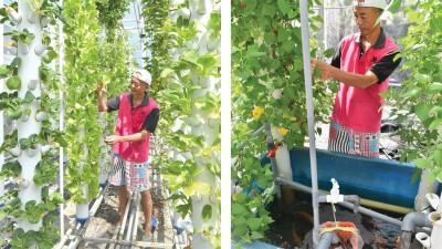 卢斌禄从科技业退下,投入鱼菜共生农法(Aquaponics系统)产业,期待慢慢开花结果。用垂直耕种管耕系统种出的蔬菜生机蓬勃。