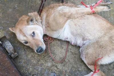 每年6月举行的广西玉林狗肉节,导致多地狗只遭抓偷。